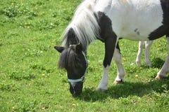 Vit- och svartmålarfärg Mini Horse i en beta Arkivbilder