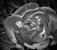 Vit- och svartros Royaltyfri Fotografi