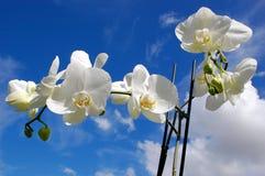 Vit orchid Fotografering för Bildbyråer