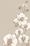 Vit orchid Arkivfoto