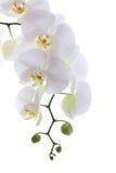 Vit orchid Royaltyfria Foton