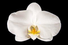 Vit orchid Royaltyfri Foto