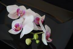 Vit orchidblomma på svart bakgrund Fotografering för Bildbyråer