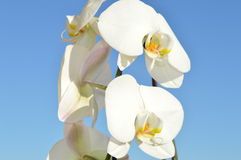 Vit orchidea arkivfoto