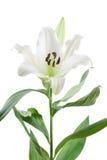 Vit orientalisk lilja som isoleras på vit Royaltyfri Fotografi