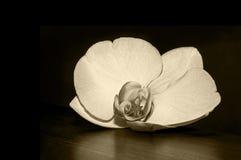 Vit orkidé 001 Royaltyfria Bilder