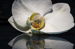 Vit orkidé 002 Arkivfoto