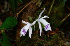 Vit orkidé Royaltyfri Bild