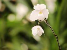 Vit orkidé Royaltyfria Bilder