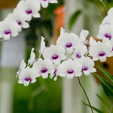 Vit orkidé Royaltyfri Fotografi