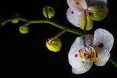 Vit orkidé Arkivfoton