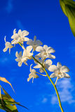 Vit orkidé Fotografering för Bildbyråer