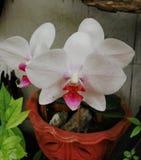Vit orkidé Arkivbild