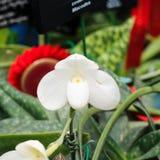 Vit orkidé för färgdamhäftklammermatare Fotografering för Bildbyråer