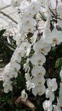 Vit orkidé från botanisk trädgård Arkivbild