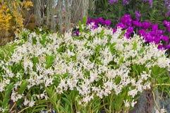 Vit orkidé i trädgård Royaltyfri Fotografi