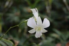 Vit orkidé i vinter royaltyfria foton