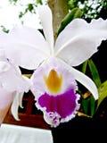 Vit orkidé med den gula och rosa fläcken arkivfoton