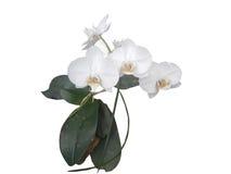 vit orkidé med isolerade gräsplansidor Fotografering för Bildbyråer