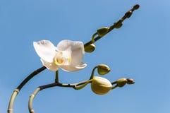 Vit orkidé med knoppar Royaltyfria Bilder