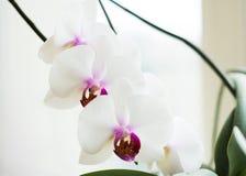 Vit orkidé med lilamitten Royaltyfri Bild