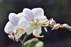 Vit orkidé med lilaremsor i solen Arkivfoto