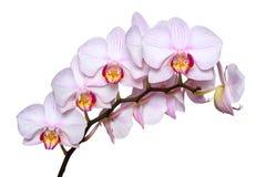 Vit orkidé med rosa åder bakgrund isolerad white Royaltyfria Foton