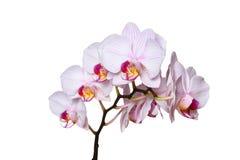 Vit orkidé med rosa åder bakgrund isolerad white Fotografering för Bildbyråer
