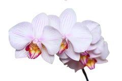 Vit orkidé med rosa åder bakgrund isolerad white Arkivbilder