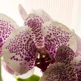 Vit orkidé med rosa fläckar Royaltyfria Bilder