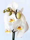 Vit orkidé mot ljus - blå bakgrund Arkivbilder