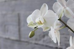 Vit orkidé och betong 16 Arkivbilder