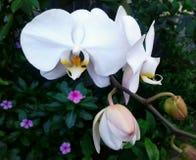 Vit orkidé på den mycket härliga trädgården arkivfoton