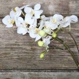 Vit orkidé (Phalaenopsis) Royaltyfria Bilder