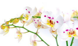 Vit orkidéblomma Royaltyfri Foto