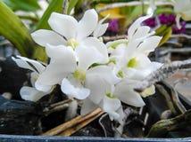 Vit orkidéblomma Arkivfoto