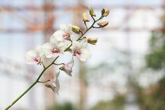 Vit orkidéblomma i trädgårds- bakgrund, vit blomma Arkivbilder