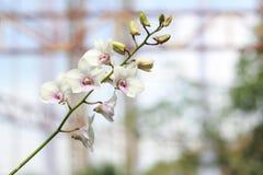 Vit orkidéblomma i trädgårds- bakgrund, vit blomma Arkivbild