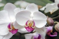 Vit orkidéblomma i växthus för Biltmore godsdrivhus Arkivfoton