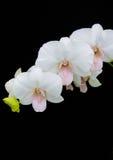 Vit orkidéPhalaenopsis på svart bakgrund Fotografering för Bildbyråer