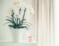 Vit orkidéväxt med blommor i kruka på fönster fortfarande, främre sikt Houseplantsgarnering Royaltyfri Fotografi
