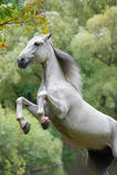 Vit orlov häst Arkivfoto