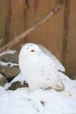 Vit owl royaltyfria bilder