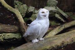 Vit owl Arkivbild