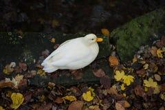 Vit and på flodkust med höstsidor Royaltyfri Foto