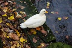 Vit and på flodkust med höstsidor Royaltyfri Fotografi