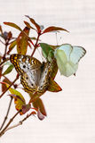 Vit påfågel och stora sydliga vita fjärilar på filial tillsammans Royaltyfri Foto