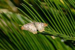 Vit påfågelfjäril som vilar på det gröna suckulenta bladet Arkivfoton
