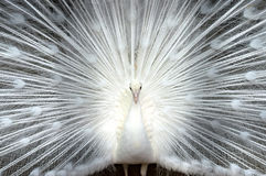Vit påfågelnärbild Royaltyfria Foton