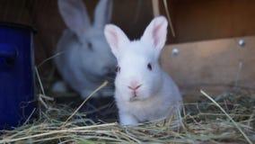 Vit panon, ung vit kanin, rabbitry som håller kaniner royaltyfria foton